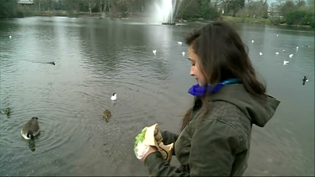 new advice says don't feed bread to ducks; set-up shots of chantal dave feeding ducks and interview sot - better to feed them things that are more... - clostridium botulinum stock videos & royalty-free footage
