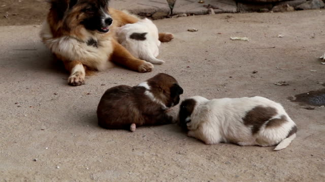new born baby dog compete for mother milk - puppy stock videos & royalty-free footage