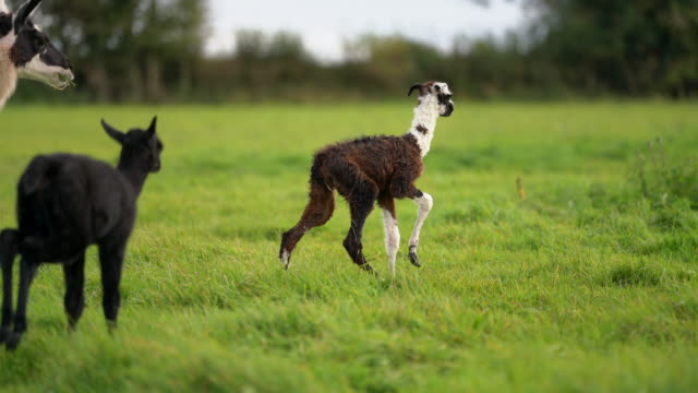 a new born baby llama cria takes her first wobbly steps - animal family stock videos & royalty-free footage