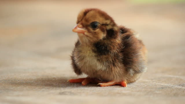 neu geboren chick. - jungvogel stock-videos und b-roll-filmmaterial