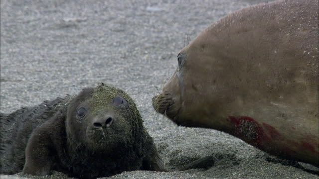 new born elephant seal pup and its mother - seal animal stock videos and b-roll footage