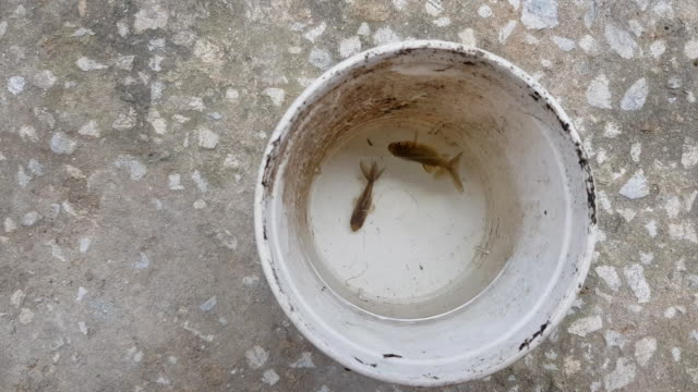 new born gold fish in water pot