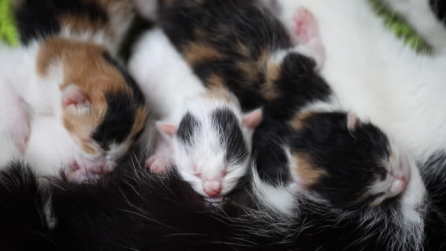 new born kittens hungry for mothers milk - new life video stock e b–roll