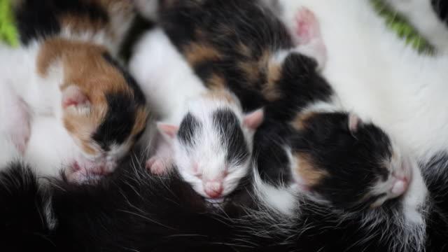 vídeos de stock, filmes e b-roll de gatinhos recém-nascidos com fome de leite materno - mamilo