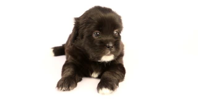 Nieuwe geboren Shih Tzu pup op een witte achtergrond