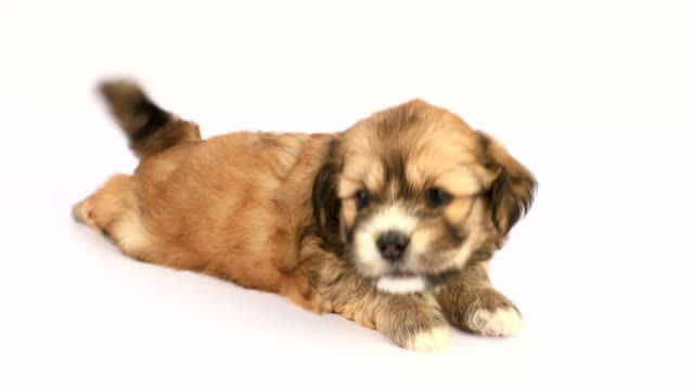 new born shih tzu puppy on a white background - puppy stock videos & royalty-free footage