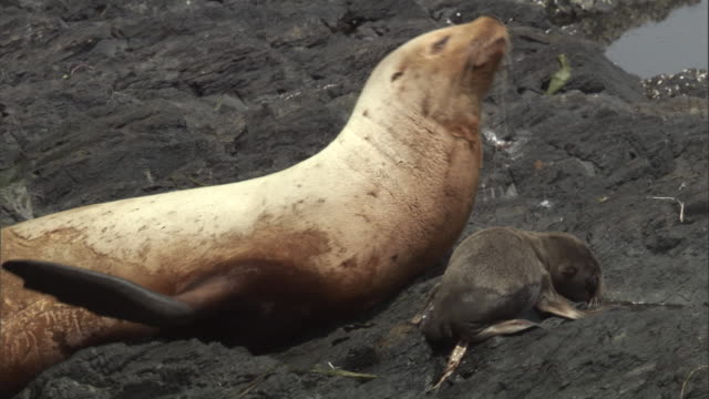 a new born steller's sea lion pup lies close to its mother on a rocky beach. available in hd. - seal pup stock videos & royalty-free footage