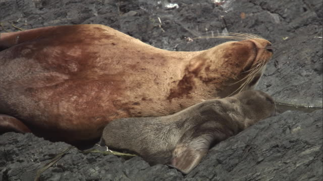 a new born steller's sea lion pup rests with its mother. available in hd. - seal pup stock videos & royalty-free footage