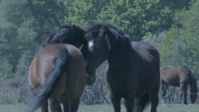 new forest stallion (equus caballus) and mare courtship, heads touching - herbivorous stock videos & royalty-free footage