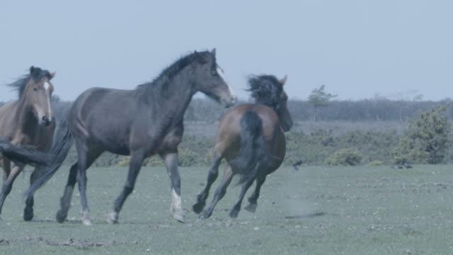 new forest stallion (equus caballus) herding mares - stallion stock videos & royalty-free footage