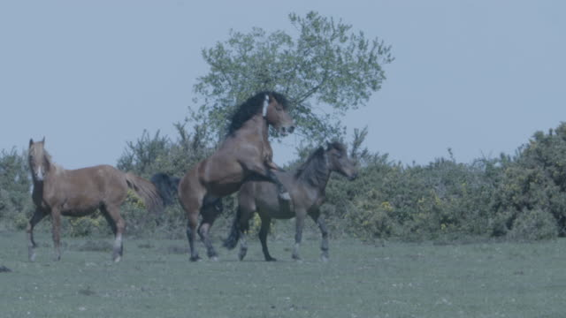 new forest stallion (equus caballus) mating a mare - stallion stock videos & royalty-free footage