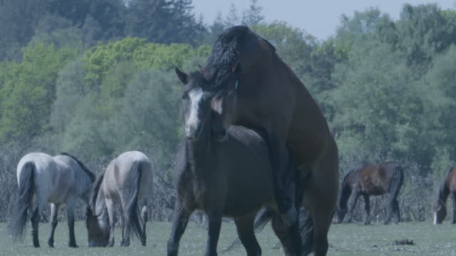 new forest stallion (equus caballus) mounts a mare - stallion stock videos & royalty-free footage