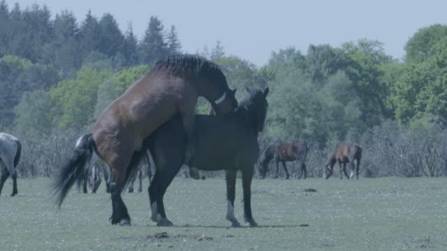 vidéos et rushes de new forest stallion (equus caballus) mounts a mare - accouplement cheval