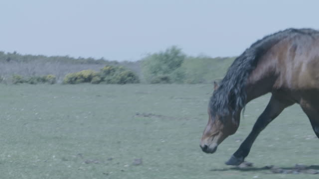 new forest stallion (equus caballus) picks up the scent of a mare - stallion stock videos & royalty-free footage