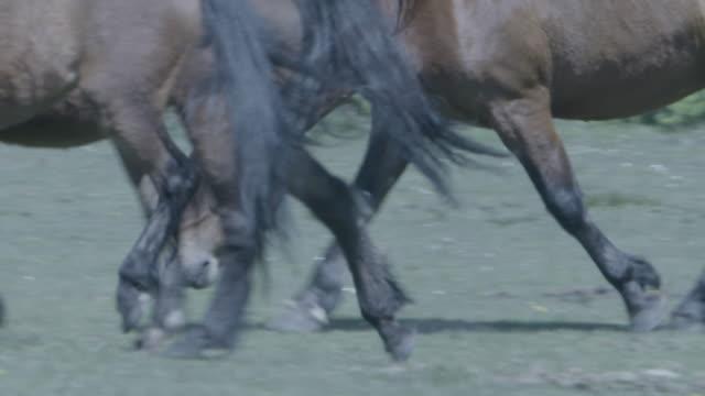 vidéos et rushes de new forest stallion (equus caballus) picks up the scent of a mare - accouplement cheval