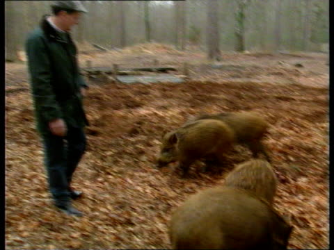 wild boars itn england hants new forest ms family of wild boars feeding amongst fallen leaves in forest tcms ditto cs younger boars chewing as apple... - new forest stock videos and b-roll footage