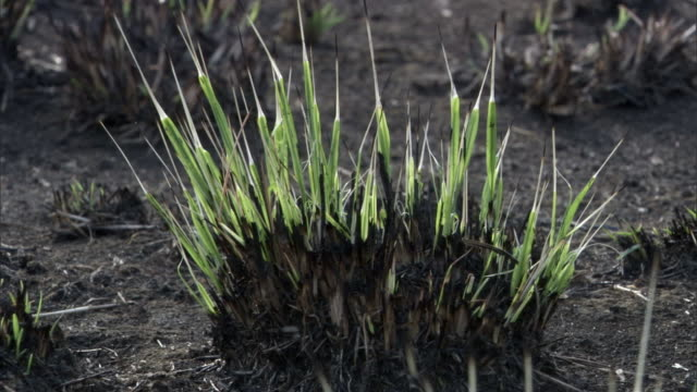 new grass sprouts after wild fire on savannah, uganda - new stock videos & royalty-free footage