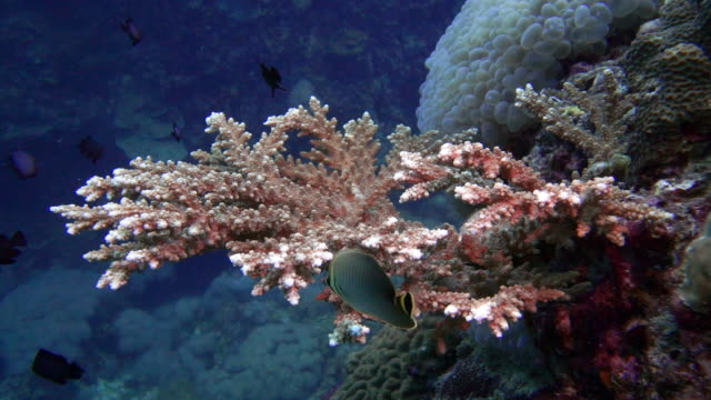 New growth on Staghorn Coral (Acropora) with Shoal of Damselfish (Dascyllus trimaculatus)