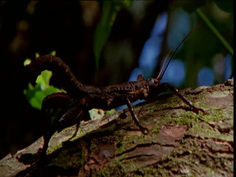 vídeos de stock, filmes e b-roll de new guinea giant stick insect on branch, new britain, papua new guinea - linha ondulada