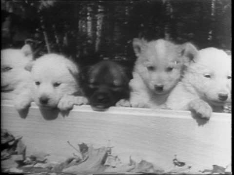 New Hampshire two teams of sled dogs pull wheeled carts / puppies in a box / Puppies eating / puppies in buckets / men inspecting puppies and carry...