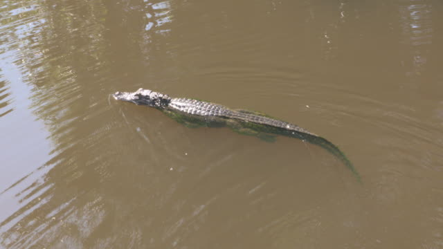 new orleans, louisiana, u.s. - louisiana swamp tour with cajon pride tours, on wednesday, june 5, 2017. - alligator stock videos & royalty-free footage