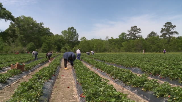 new orleans, u.s. - strawberry farm on friday, april 3, 2020. - agriculture stock videos & royalty-free footage