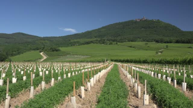 New plantation of a vineyard