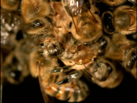 CU New queen emerging from cell, surrounded by other honey bees, (Apis mellifera), England