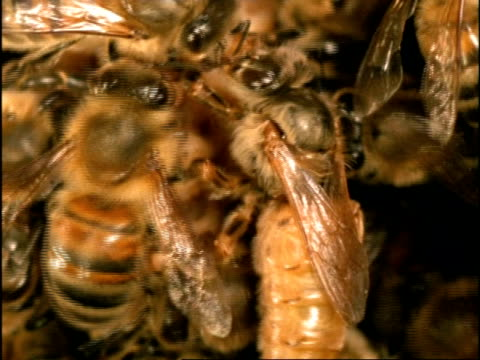 cu new queen surrounded by other honey bees (apis mellifera), england - tiergruppe stock-videos und b-roll-filmmaterial