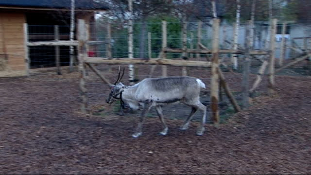 New reindeer arrive with Father Christmas at London Zoo Reindeer grazing / Christmas trees / various of Santa feeding reindeers in enclosure /...