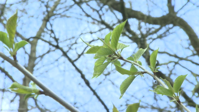 new shoots and leaves growing on woodland tree as spring arrives - new stock videos & royalty-free footage