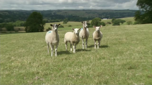 New study proposes drastic reduction in meat consumption LIB / 182018 Teesdale EXT Various of sheep in field Cow grazing