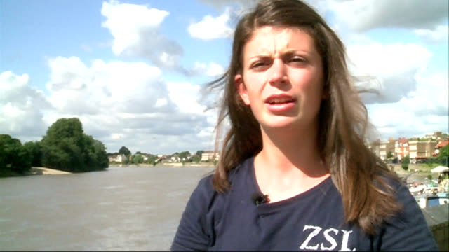 new survey reveals number of seals living in the river thames joanna barker interview sot reporter to camera sot - seals stock videos and b-roll footage