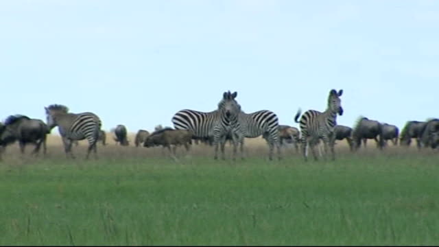 new threat to wildebeest wildebeest and zebras spotted hyenas and more wildebeest along - 脅し点の映像素材/bロール