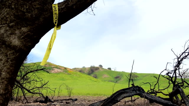 New vegetation sprouts in a Woolsey Fire burn area in the Santa Monica Mountains on February 26 2019 near Malibu California Significant winter...