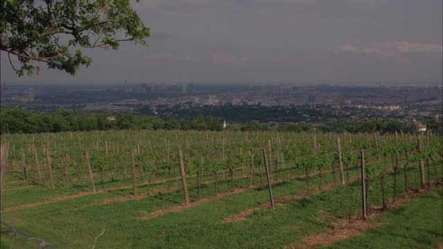 New vines grow in a young vineyard.