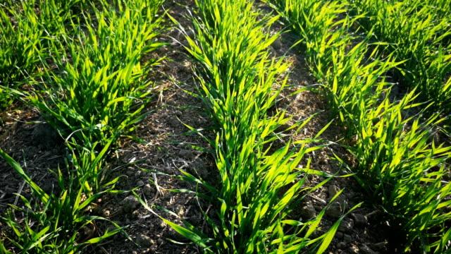 new wheat plants growing in field - orzo video stock e b–roll