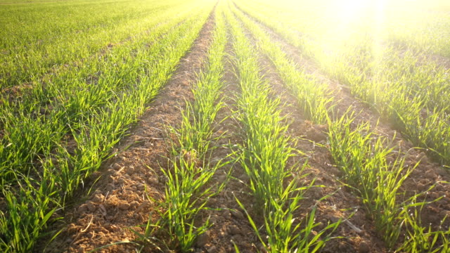 土で育つ新しい小麦植物 - cereal plant点の映像素材/bロール