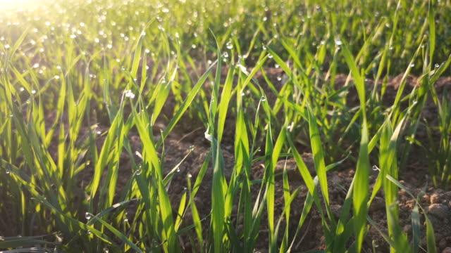 土で育つ新しい小麦植物 - 苗点の映像素材/bロール