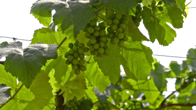 new wine grapes in vineyard - cabernet sauvignon grape stock videos and b-roll footage