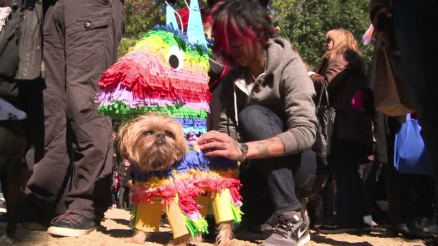 vídeos y material grabado en eventos de stock de new york dogs take the stage dressed as everything from princesses to pinatas in the 23rd annual halloween dog parade clean : pampered pooches don... - papier