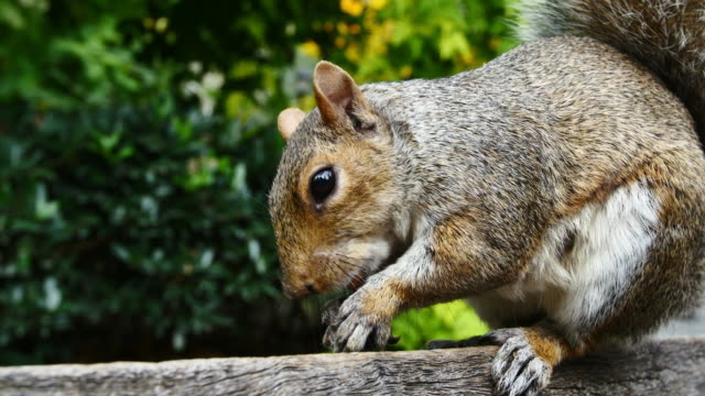 new york squirrel - squirrel stock videos and b-roll footage