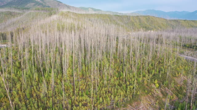 new, younger pine trees grow up from the forest floor among the gray skeletons of trees killed by the 2003 robert complex fire that burned the... - montana western usa stock videos & royalty-free footage