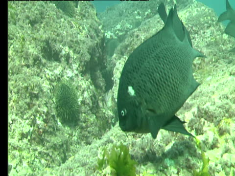 new zealand black angelfish eat off corals in the pacific ocean. - seabed stock videos & royalty-free footage