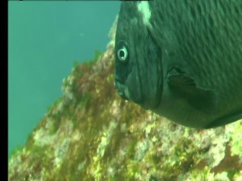 a new zealand black angelfish swims around corals. - 食糧を捜す点の映像素材/bロール
