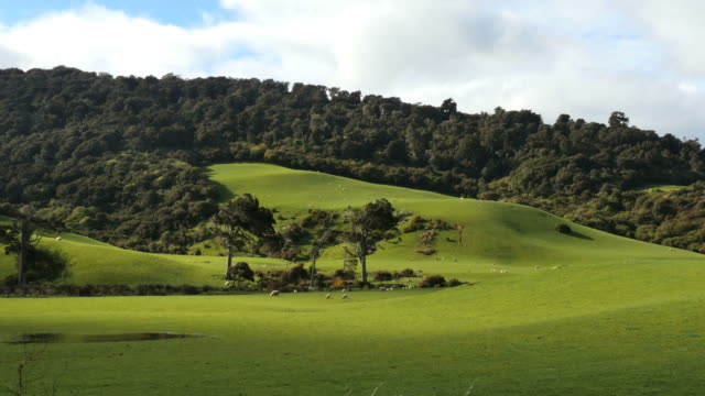 New Zealand Catlins podocarp trees and sheep