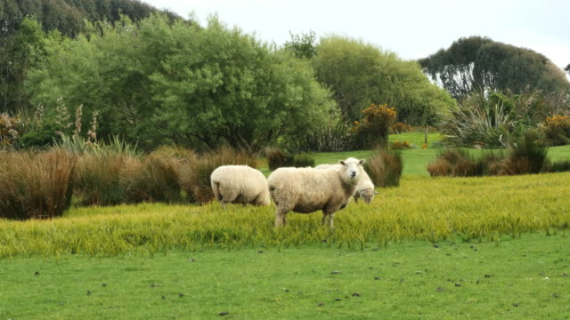 new zealand catlins sheep eating - sheep stock videos & royalty-free footage