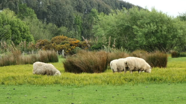 new zealand catlins sheep look around - new zealand点の映像素材/bロール