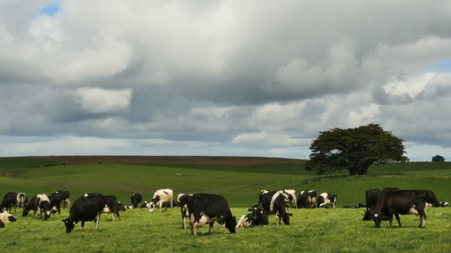 New Zealand cattle under cloudy sky