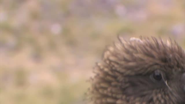 new zealand. close up of a kea, nestor notabilis, an alpine parrot. - new zealand stock-videos und b-roll-filmmaterial